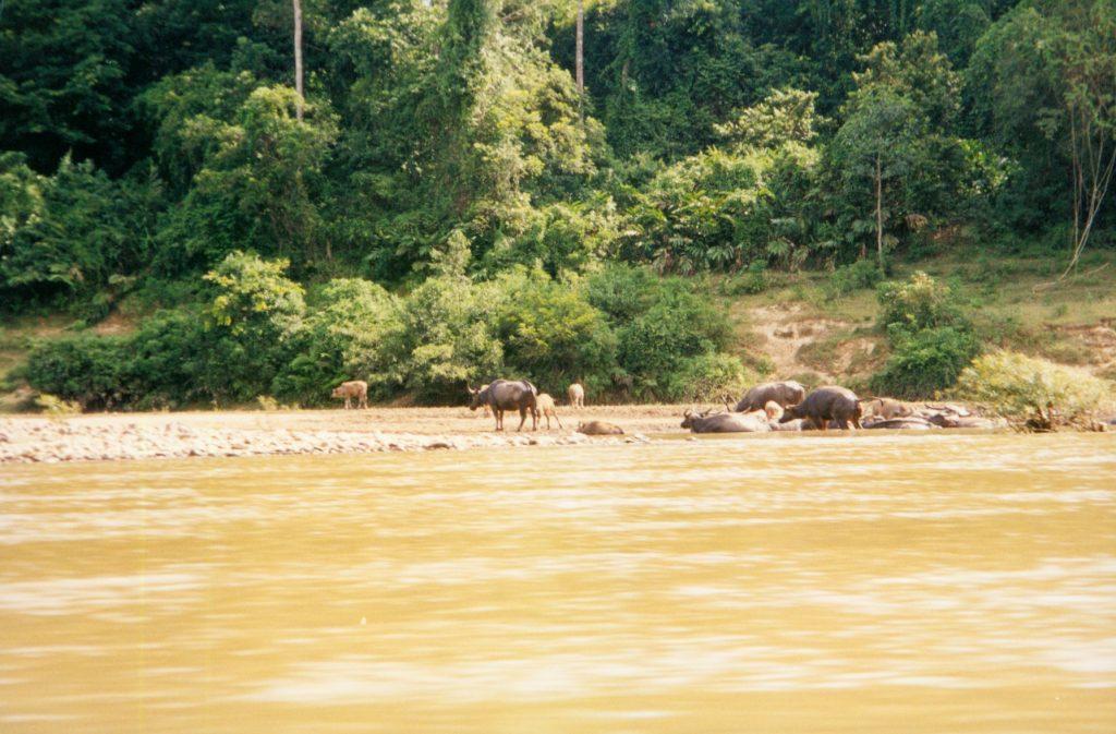 Buffalo Taman Negara Jungle, Malaysia