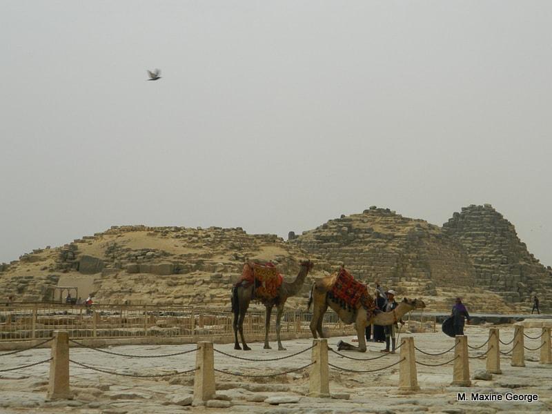 camel near pyramids Egypt