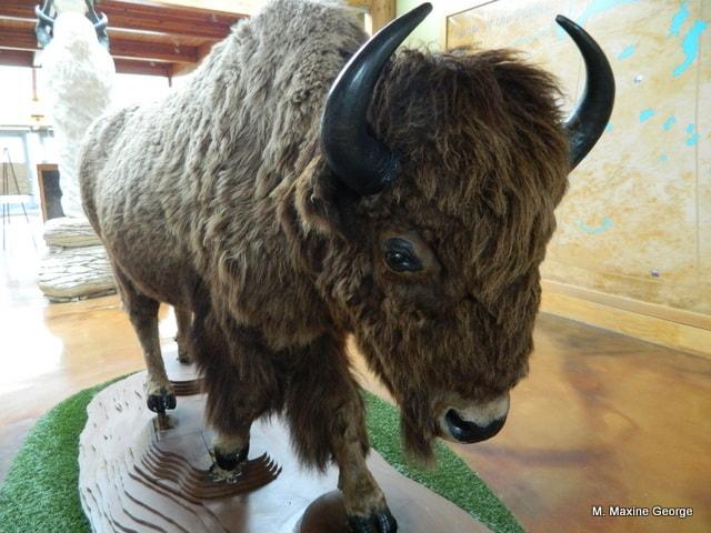 Wanuskewin Heritage Park buffalo real