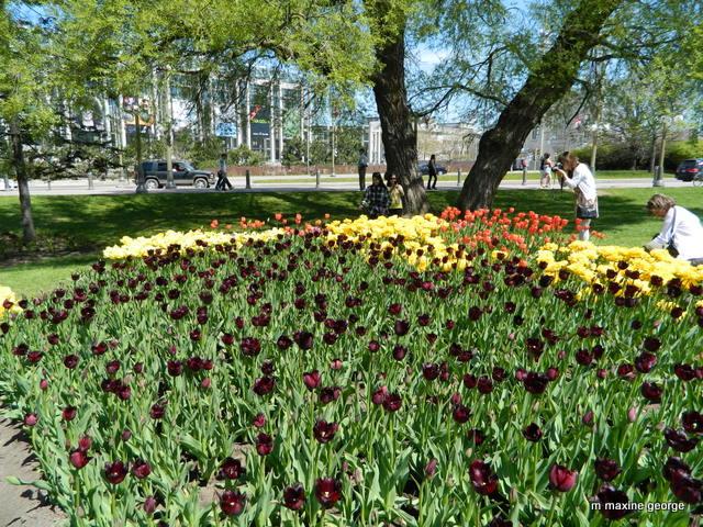 Van Gogh Tulips, Ottawa Tulip Festival