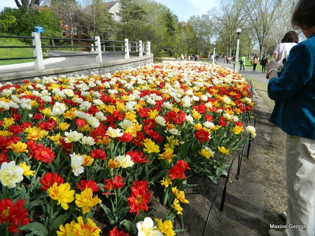 Tulips in Major's  Tulip FestivalHill Park, Ottawa