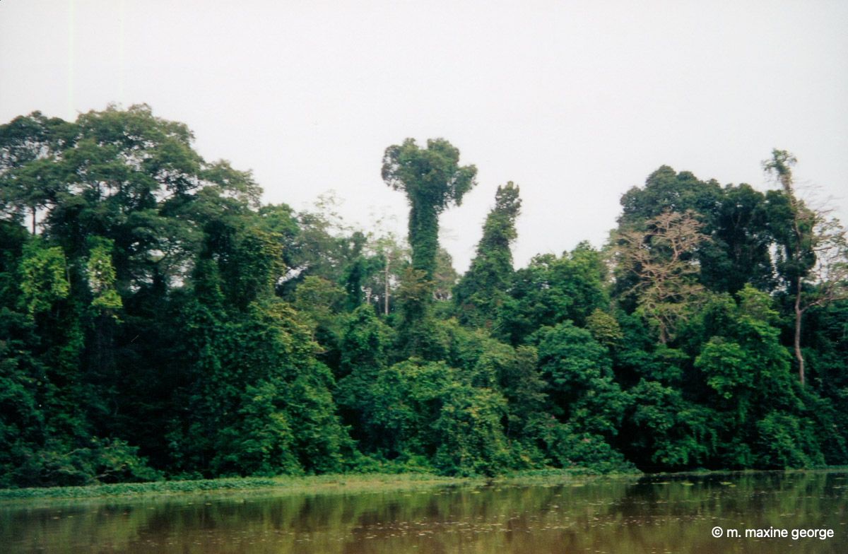 Borneo Forest Jungle