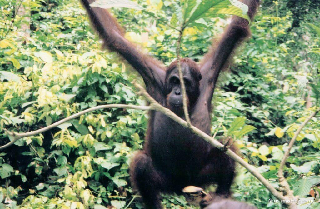 orangutan swinging borneo