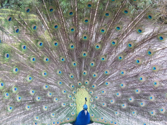 One of the Peacock guardians at Gwydir Castle. Picture by M. Maxine George