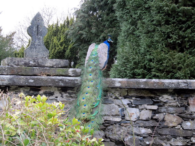 A peacock acts as sentinel on the rock wall at Gwydir Castle, Wales