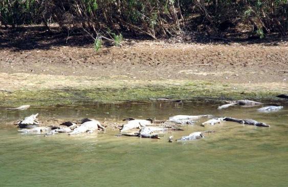 Freshwater crocodiles in Windjana Gorge.